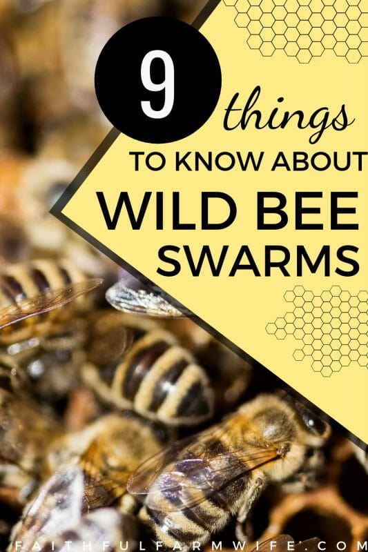 What should you do when you have an unwanted bee swarm in or around your home? Find out how you can safely catch a wild bee swarm for your own apiary! #beekeeping #beeswarm #wildbeeswarm #backyardbeekeeping