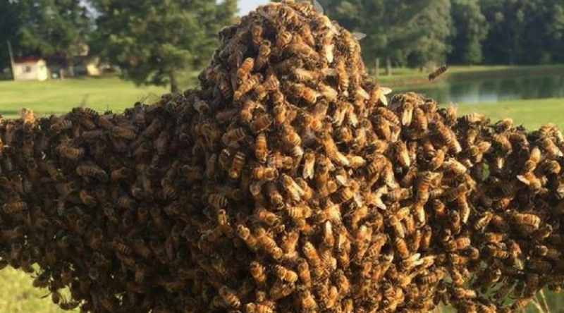 How to Safely Catch a Wild Bee Swarm