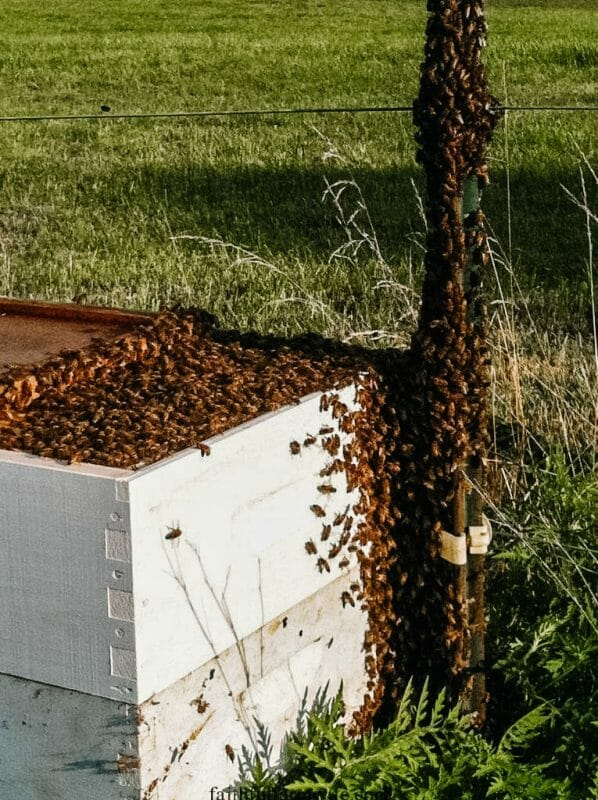 9 Things to Know Before You Catch a Wild Bee Swarm   Faithful Farmwife