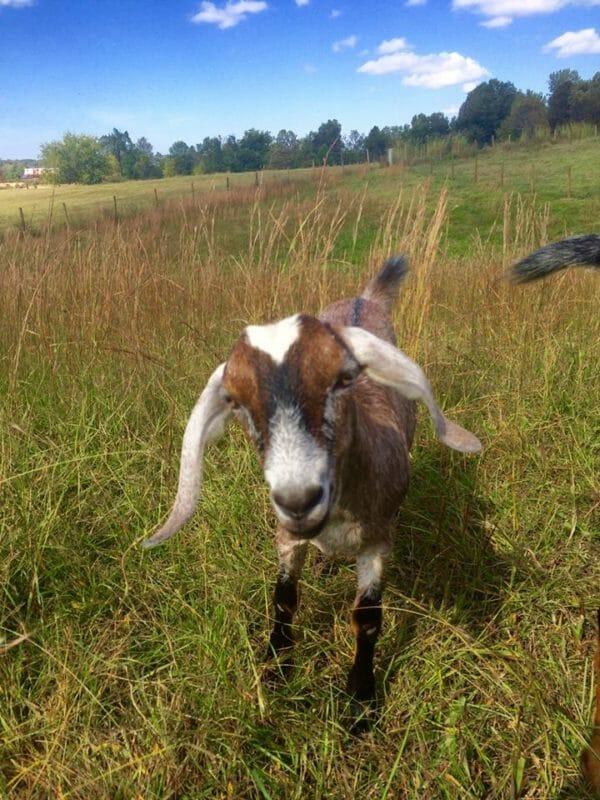 The Goat Herd- 2016 Recap