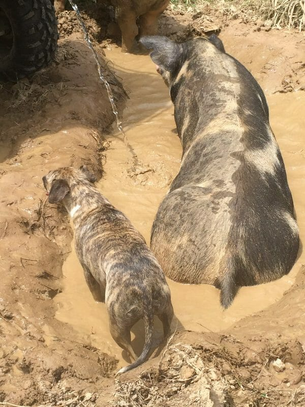 5 Reasons You Should Add Pigs to Your Homestead- Faithful Farmwife
