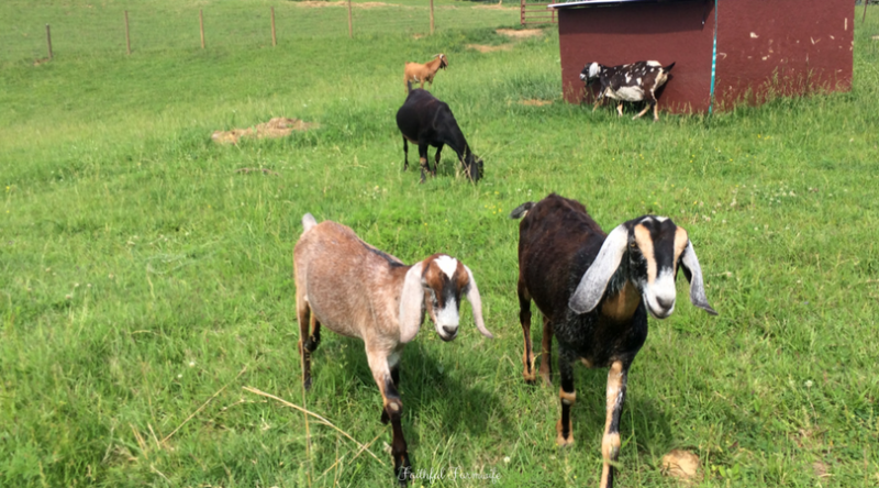 Keeping Small Herd Goat Records