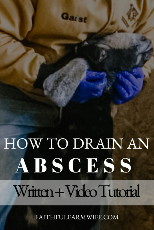 Learn how to lance, drain, and flush an abscess on a goat with minimal stress. Read the written tutorial or watch the video for step-by-step instructions! #abscess #goathealth #farmanimal health