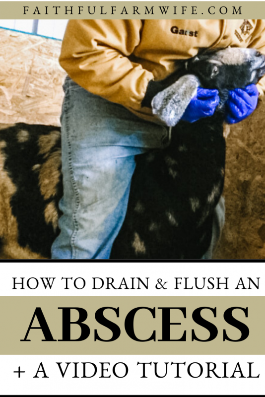 Learn how to lance, drain, and flush an abscess on a goat with minimal stress. Read the written tutorial or watch the video for step-by-step instructions! #abscess #goathealth #farmanimalhealth