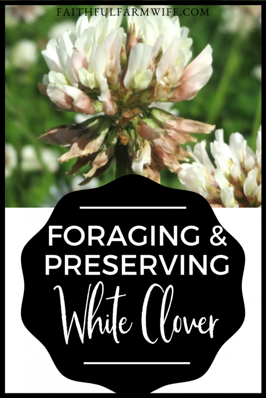 Gathering, drying, and using clover is so simple! If you are a beginner at foraging and using herbs, then preserving white clover is the place to start! #whiteclover #foraging #gathering