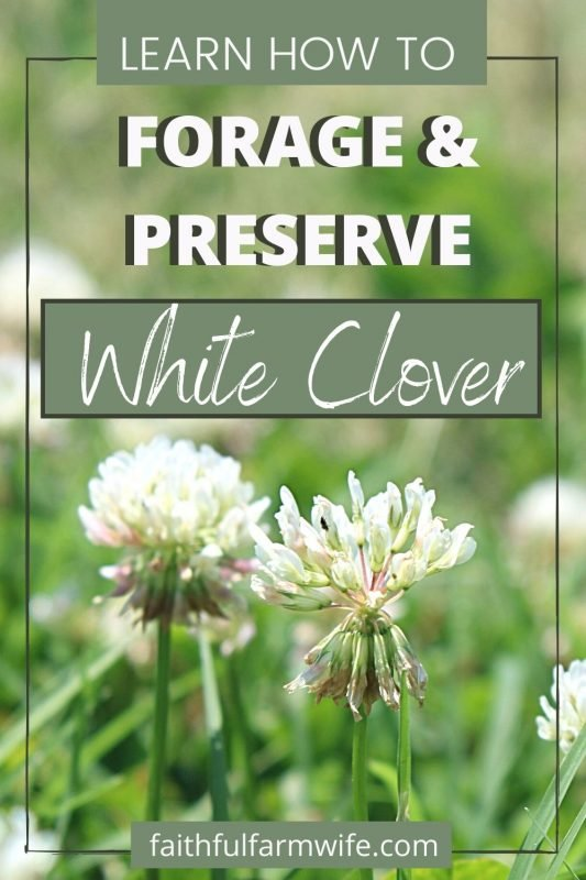 Gathering, drying, and using clover is so simple! If you are a beginner at foraging and using herbs, then preserving white clover is the place to start! #foraging #preserving #wildcrafting #clover #eattheweeds