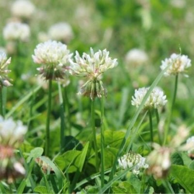 Foraging and Preserving White Clover Blossoms
