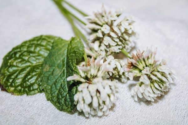 White Clover Iced Tea with Mint & Honey | Faithful Farmwife
