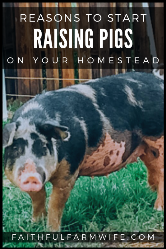 Are you trying to decide what type of livestock would be best for your farm? Here are 5 reasons why you should consider raising pigs on your homestead. #raisingpigs #livestock #homesteading #homesteadanimals #farmanimals