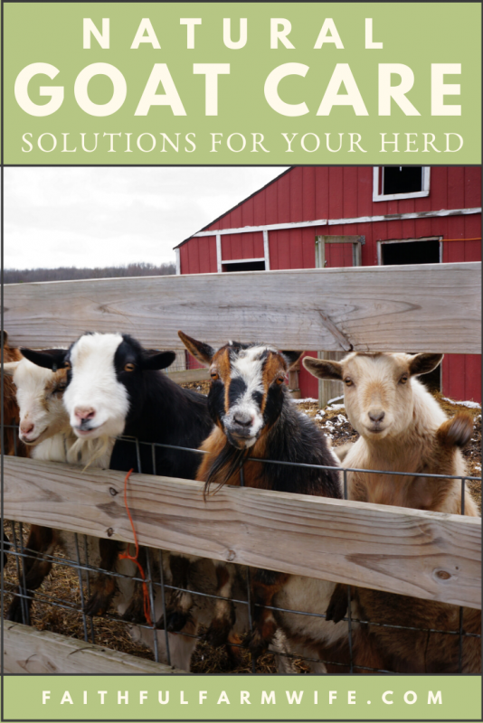 Do you know the natural goat care solutions (herbs, essential oils, and common pantry items) that can be used to keep your goat herd happy and healthy? #Goats #GoatCare #Livestock #NaturalAnimalCare #NaturalSolutions #Homesteading