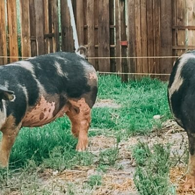 5 Reasons You Should Consider Raising Pigs