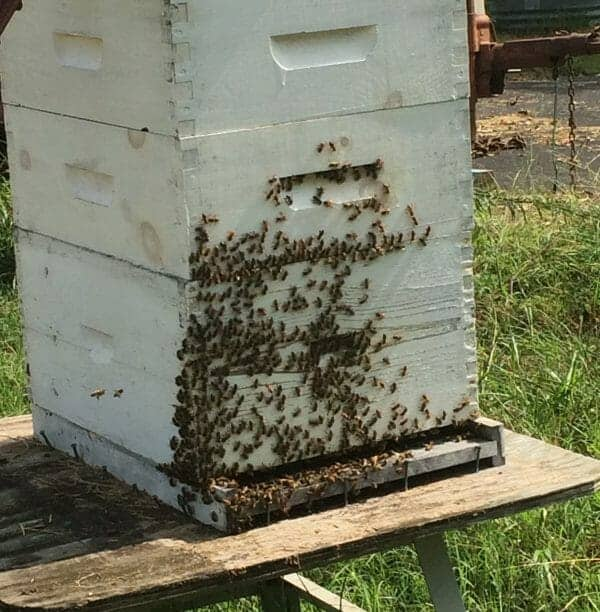 Keeping bees healthy in winter is crucial for sustainable beekeeping. Find out what you need to know about overwintering honeybees in your apiary! #beekeeping #overwintering #honeybees #beesinwinter #winterize