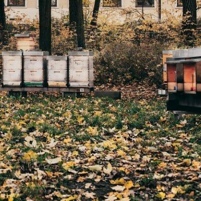 Making Sugar Cakes for Honeybees