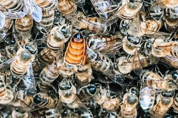 Queen Bee in Wild Bee Swarm