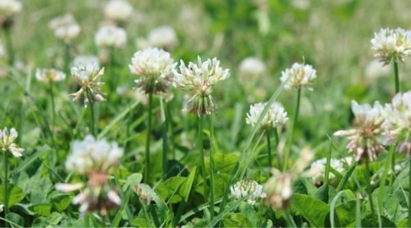 Image of White Clovers in a field | How to Preserve White Clover Blossoms | Mama on the Homestead