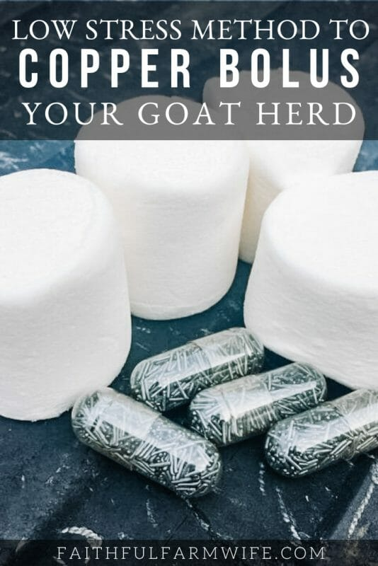 Giving Copper Bolus to goats is vital for a healthy goat herd. Find out everything you need to know about administering copper bolus to your herd here! #copperbolus #copperdeficiency #ultracruz #goats #goatcare #livestock #homesteading