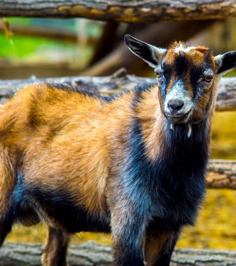 Image of brown and black goat | What You Need to Know About Giving Copper Bolus | Mama on the Homestead