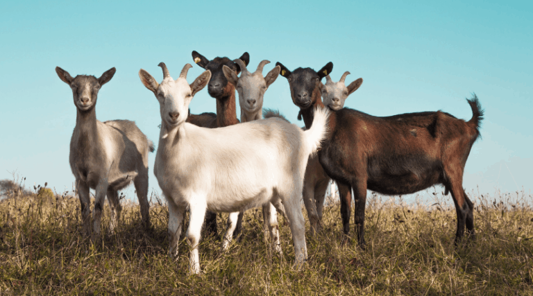 Natural Goat Care Solutions that You Need to Know About