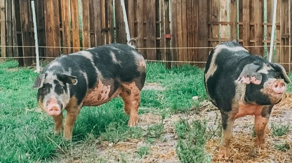 5 Reasons You Should Consider Raising Pigs | Faithful Farmwife