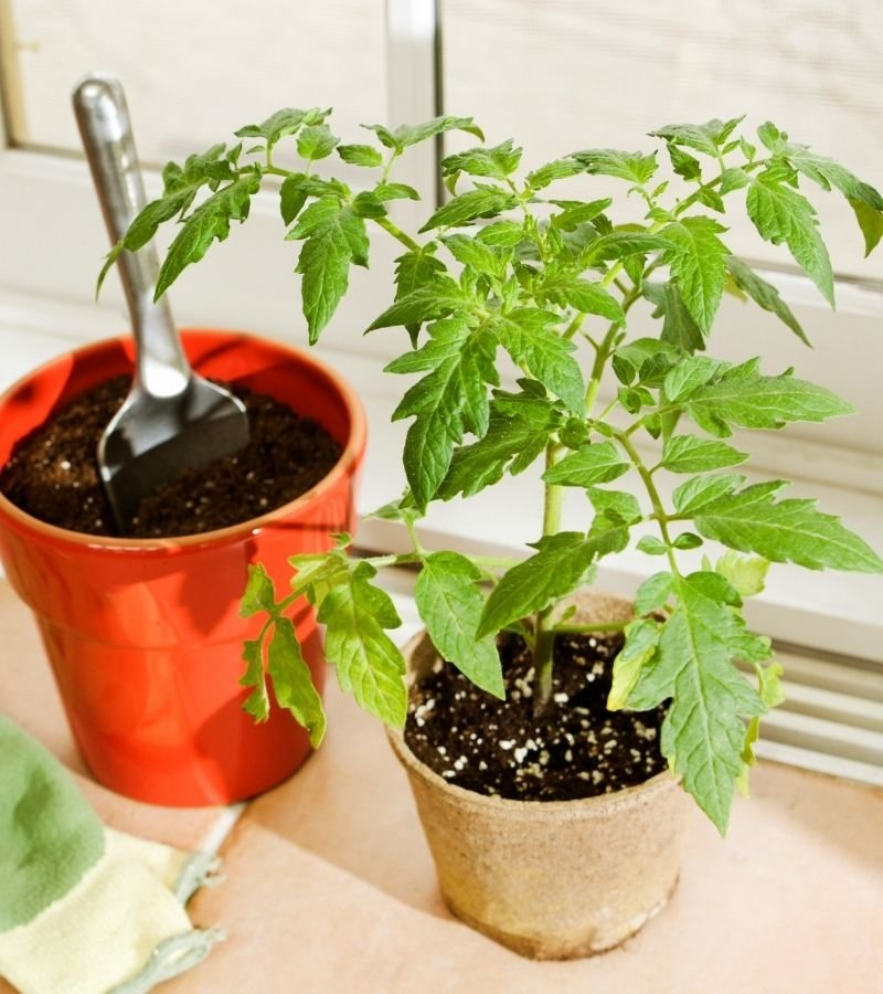 Tomato growing in a window sill | 30+ Basic Homestead Skills You Need to Learn | Mama on the Homestead