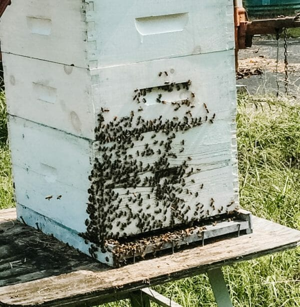 Beehive | 5 Things You Need to Know About Overwintering Honeybees | Faithful Farmwife