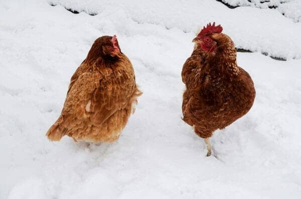Chickens In Snow | 20+ Winter Homestead Essentials You Need to Stock | Faithful Farmwife