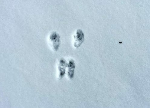 Snowy Animal Tracks | Faithful Farmwife