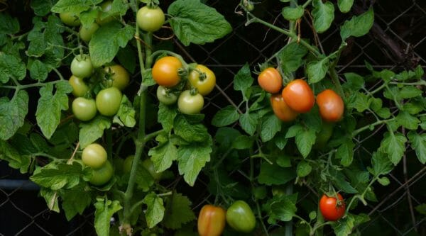 Tomatoes on the Vine | 35 of the Best Spring Garden Planning Resources for a Productive Garden | Faithful Farmwife