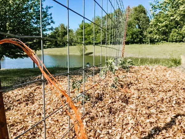 Using a cattle panel for vining plants | Faithful Farmwife