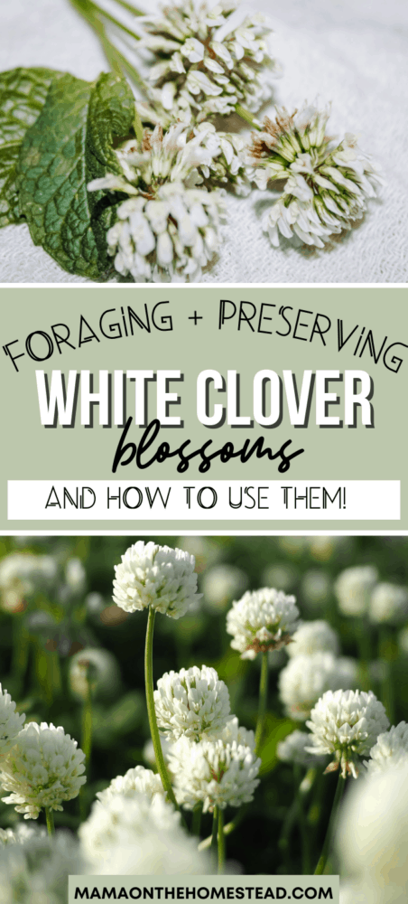 "Two Images of White Clover with the Words ""Foraging and Preserving White Clover Blossoms: and How to Use Them"" Pin Image"