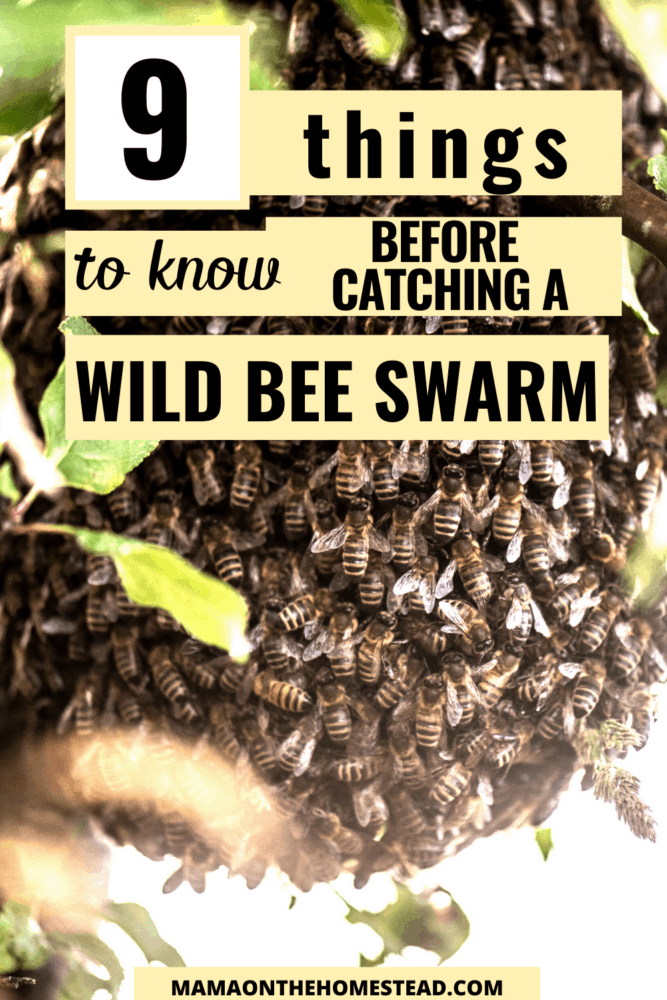 Image of honeybee swarm in tree. Words: 9 Things to know before catching a wild bee swarm. Pin Image