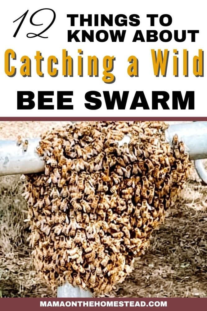 Pin image: Honeybee Swarm on a trampoline frame. Words: 12 Things to Know About Catching a Wild Bee Swarm
