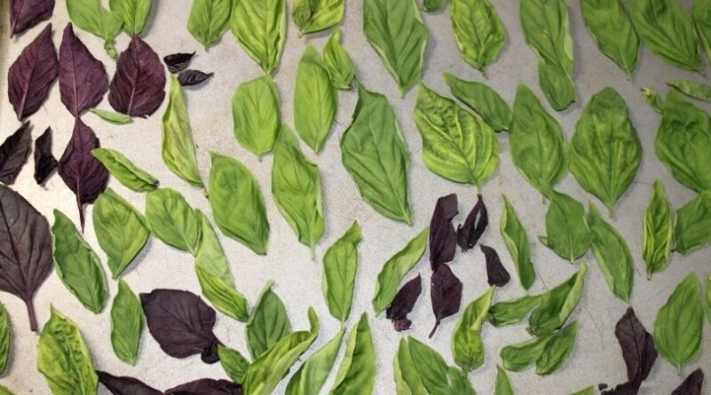 Image of basil leaves on a baking sheet | Mama on the Homestead