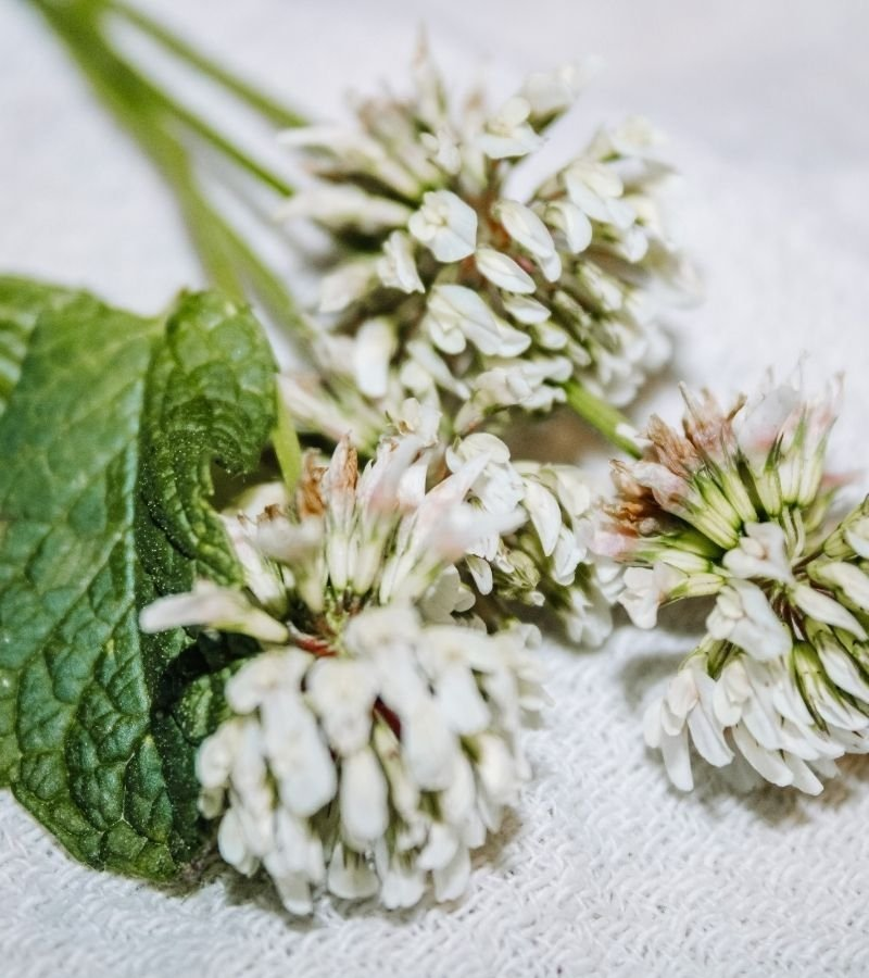 Image of White Clovers and fresh mint on a flour sack towel | How to Preserve White Clover Blossoms | Mama on the Homestead