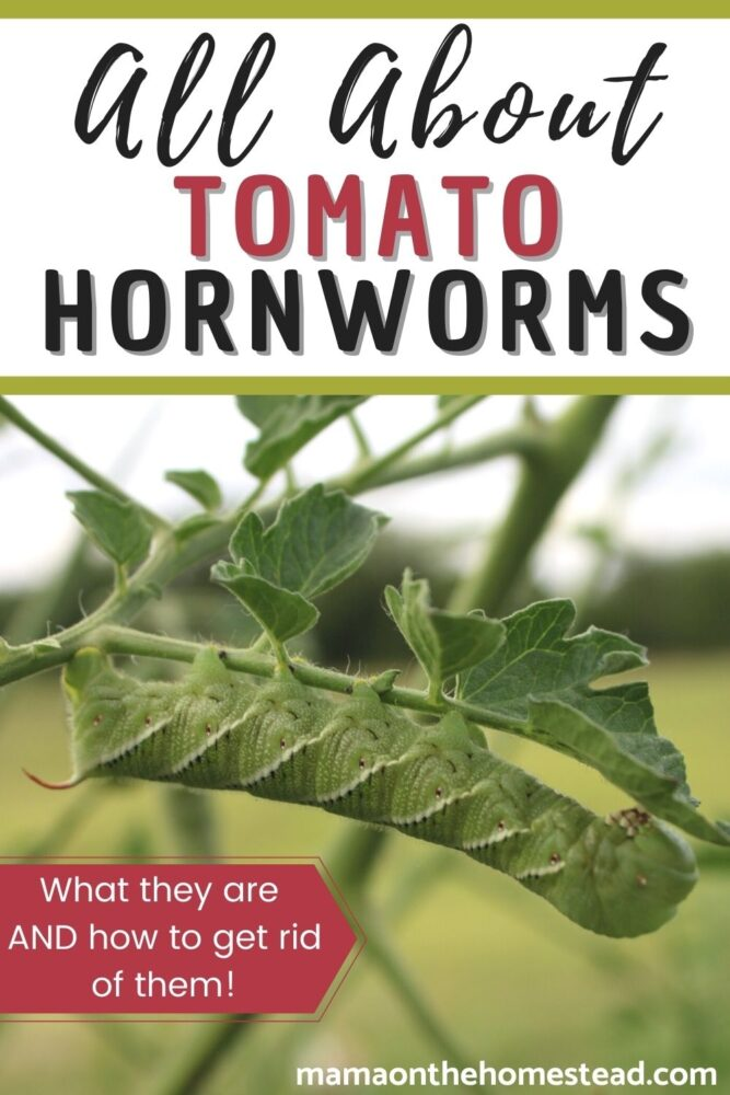 Image of a tomato hornworm eating a tomato leaf. Words: All About Tomato Hornworms: What they are AND how to get rid of them! | Mama on the Homestead