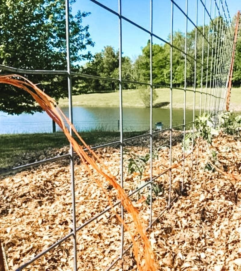 Tomato plants trellised with cattle panel and baling twine | Mama on the Homestead