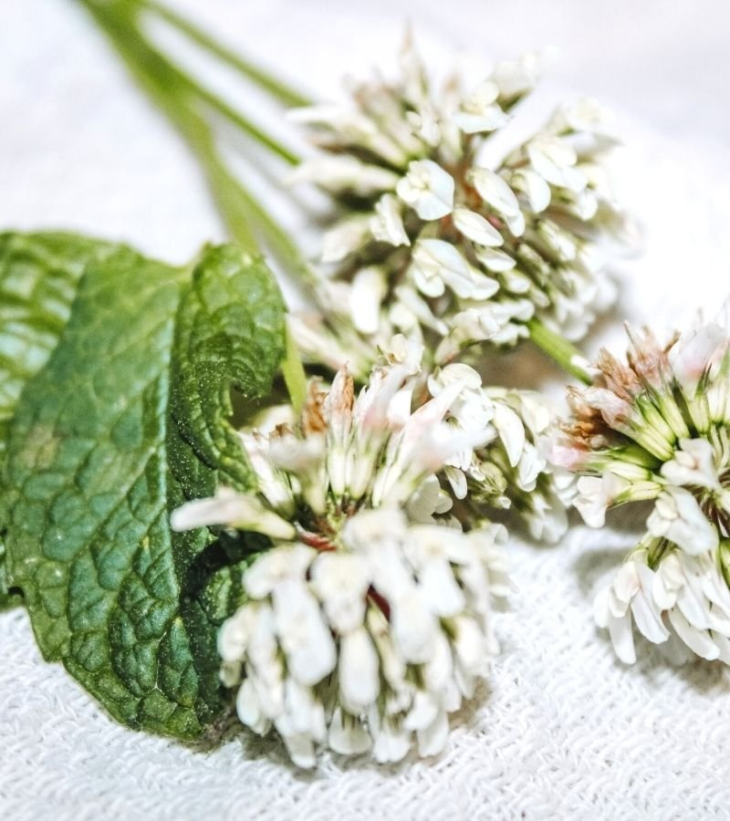 Three white clover blossoms and two mint sprigs | Mama on the Homestead